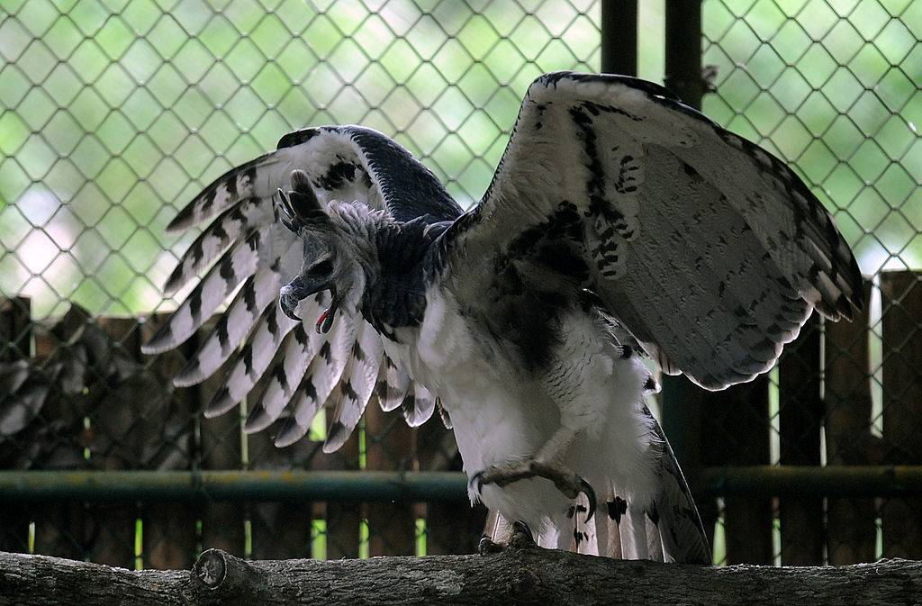 Harpy Eagle (Harpia harpyja) 'Panama', is seen at the Zoo Summit