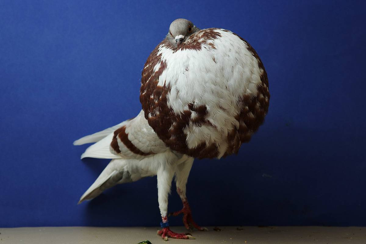norwich cropper pigeon at australia national pigeon show