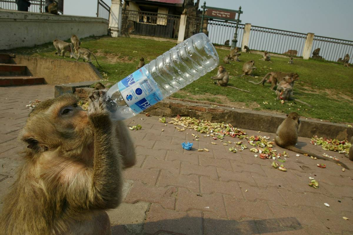 A monkey drinks bottled water given to it by a tourist at the Phra Prang Sam Yot temple