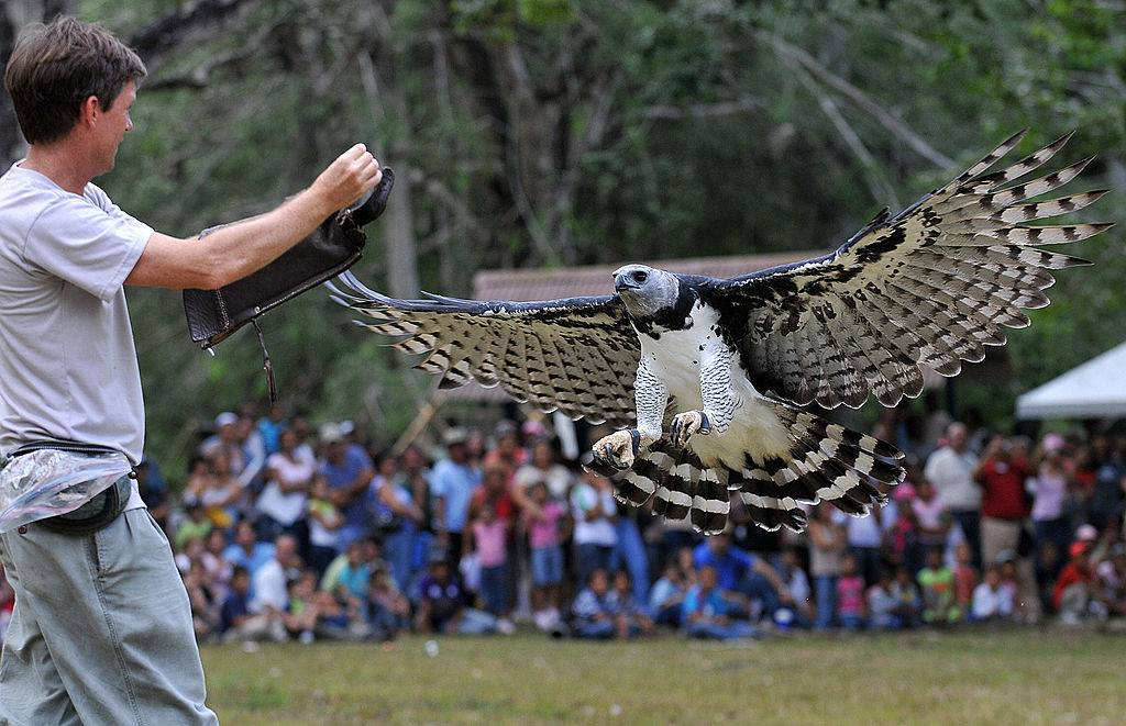 A trainer feeds Luigi, an adult male Harpy eagle