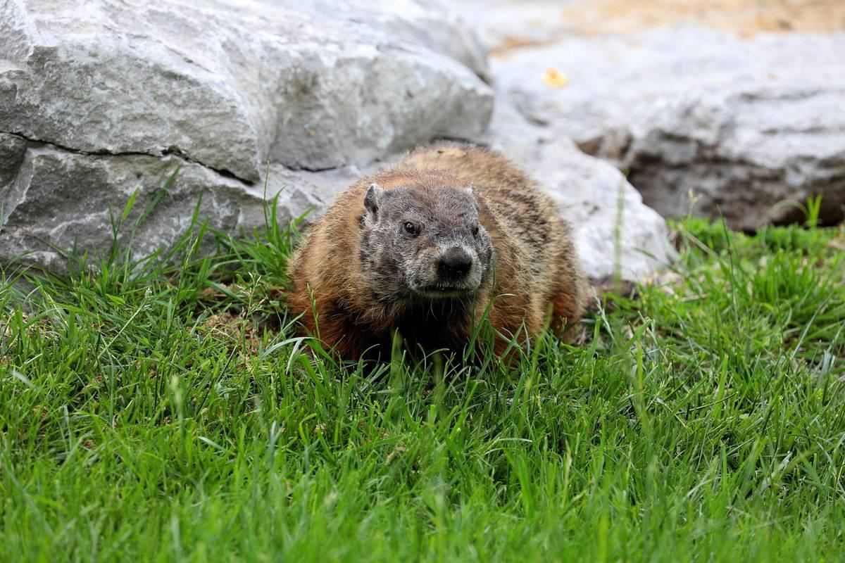 A Groundhog walking on grass