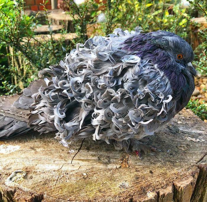 grey frillback pigeon