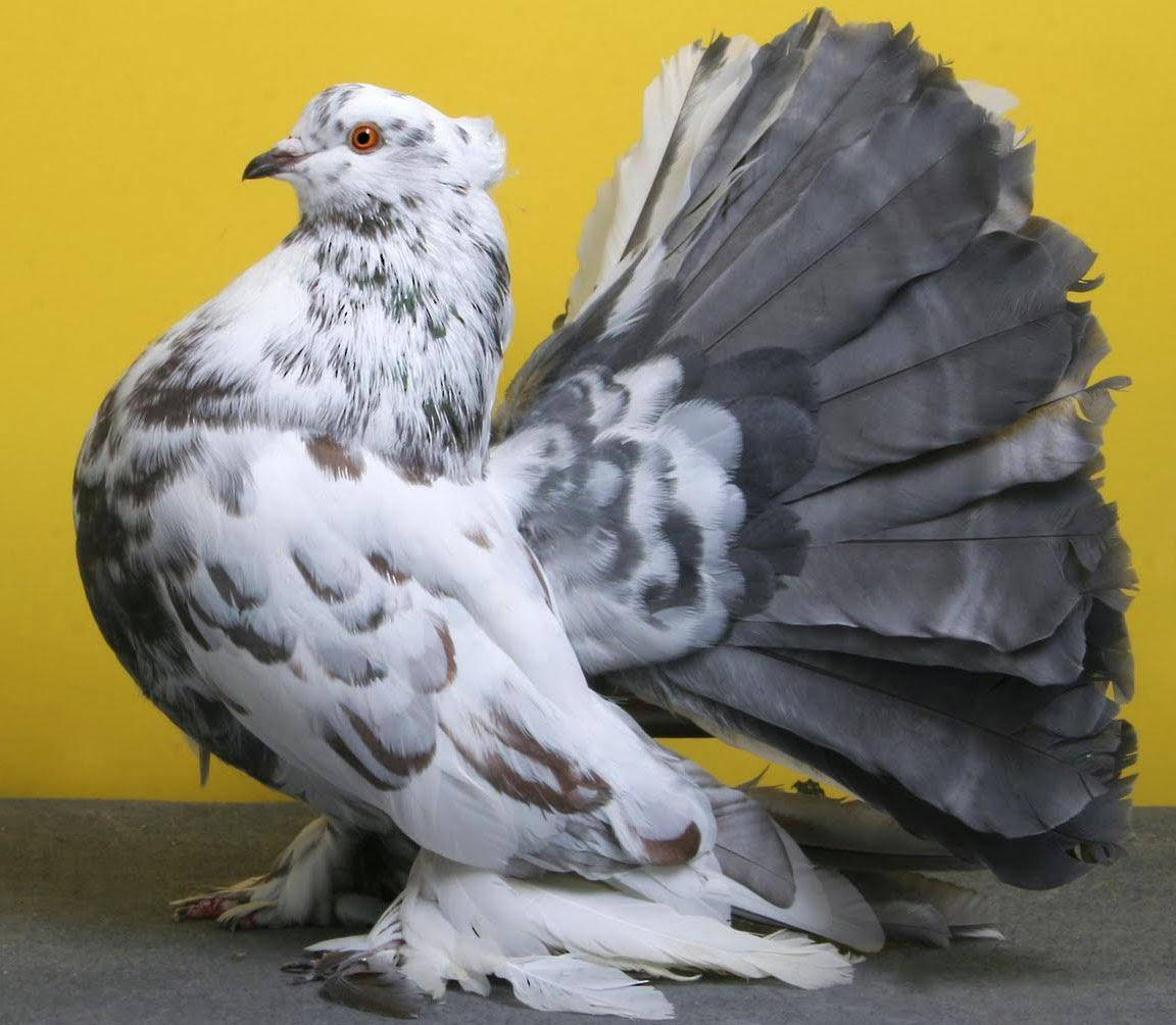 indian fantail pigeon breed