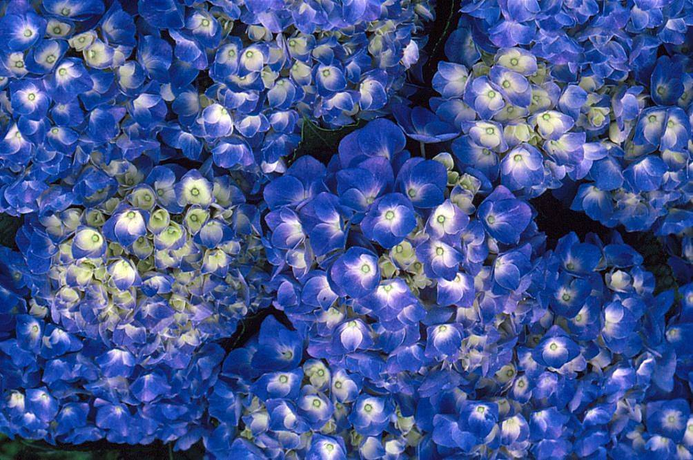 blue flowers with white centers