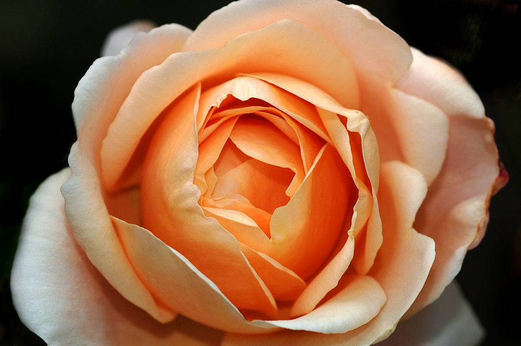 a peach rose with lots of petals
