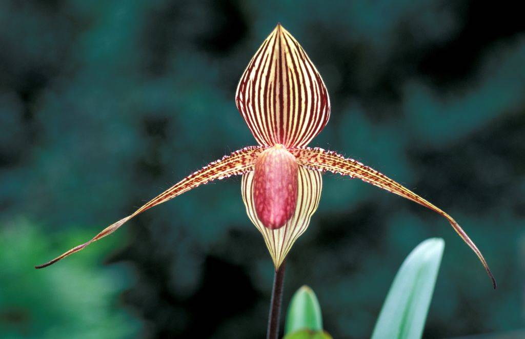 an orchid with dark vertical lines on the petals