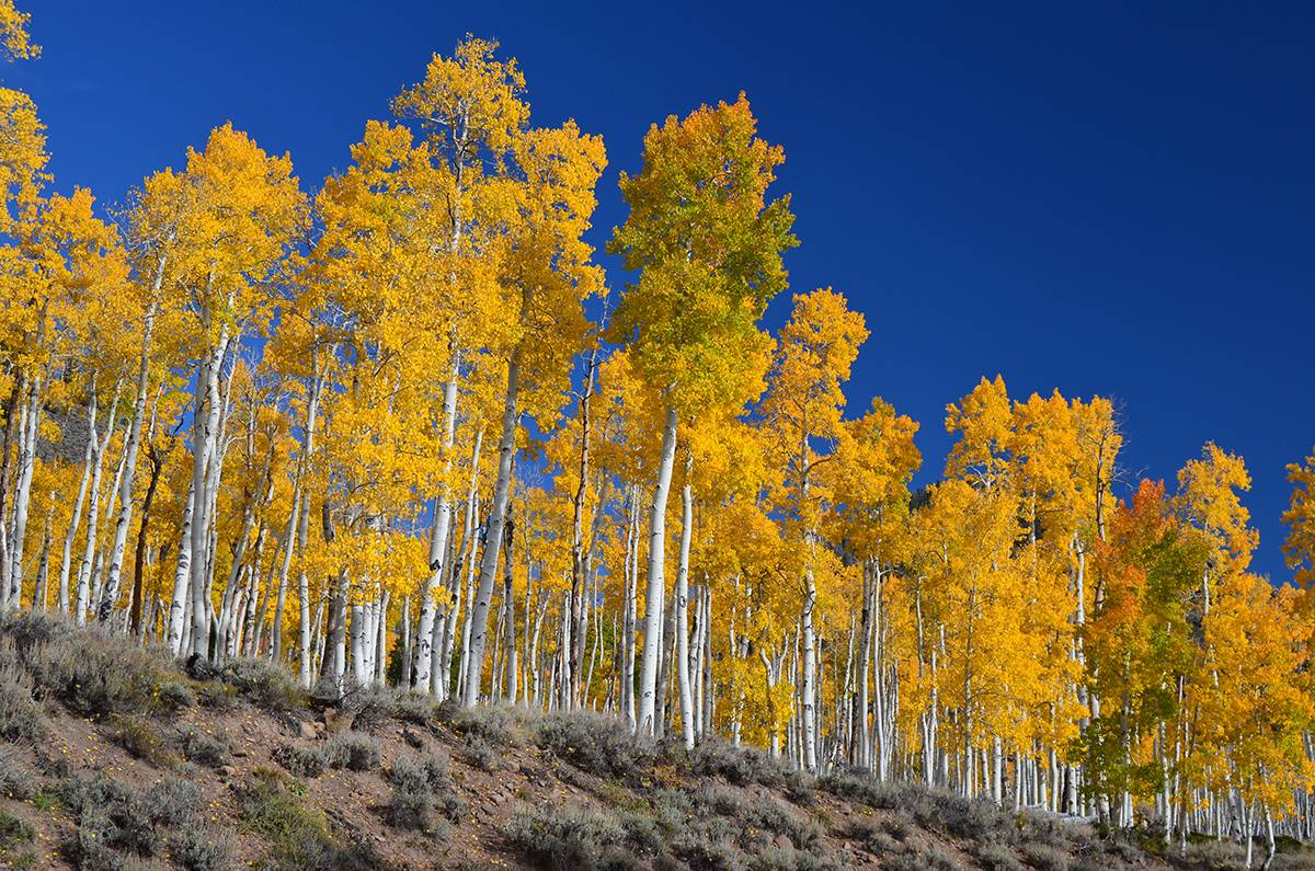 Pando in Fishlake National Forest