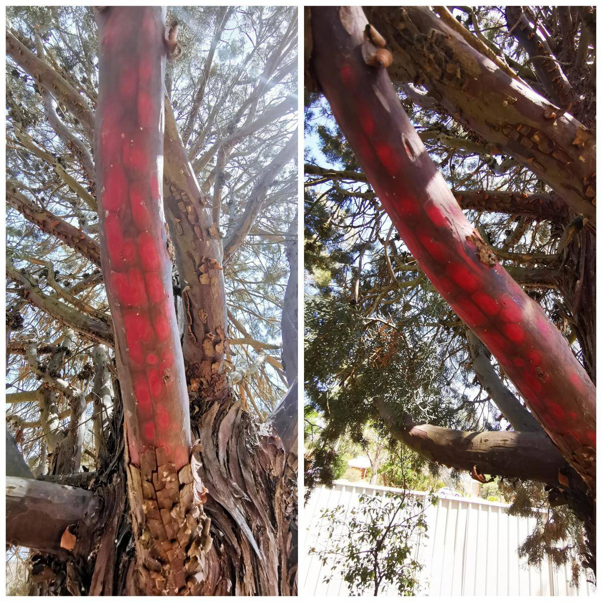 tree with bark stripped off is bright red