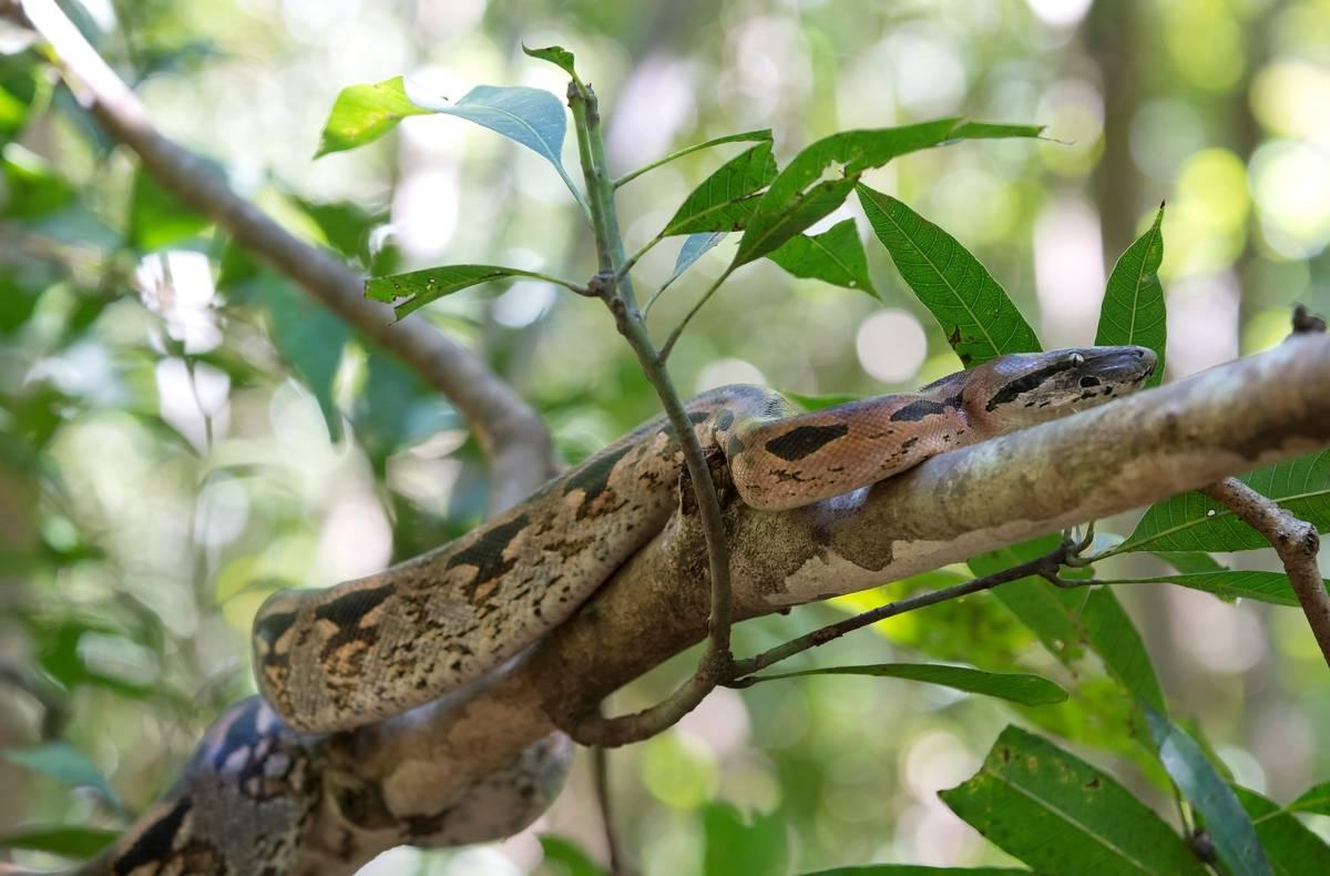 A boa climbs a tree.