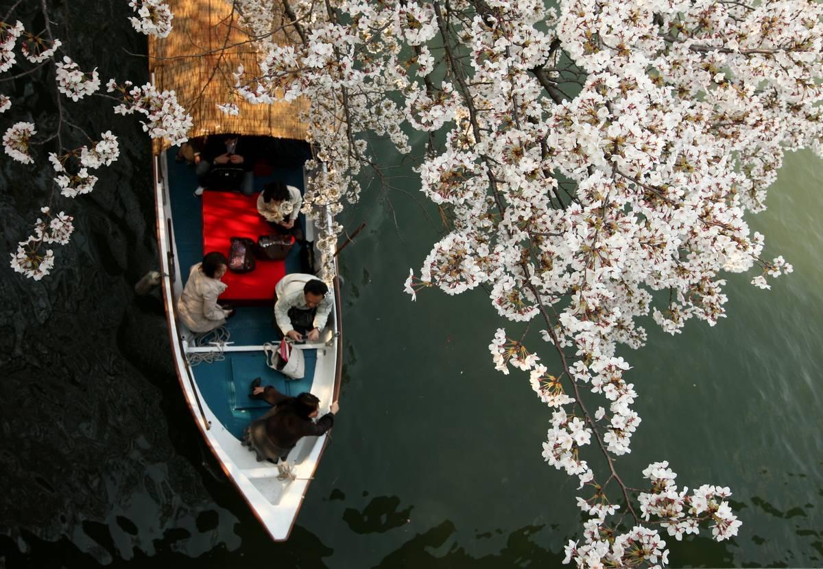 People row a boat under cherry blossoms at Sakuranomiya Park
