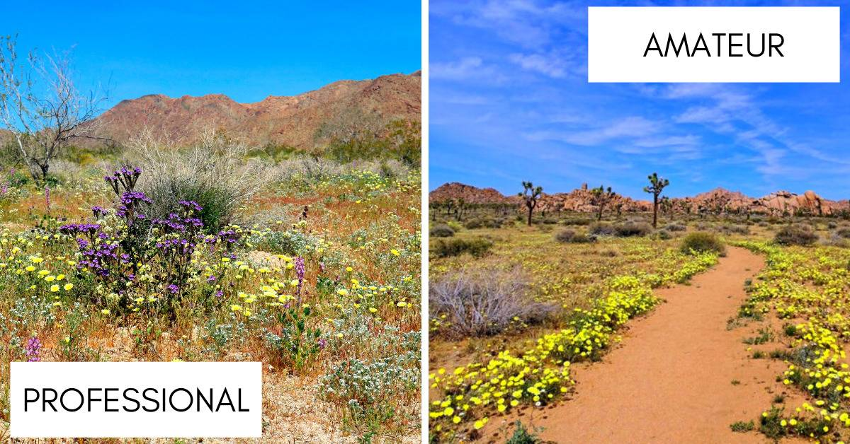 photos of blooming flowers in joshua tree national park