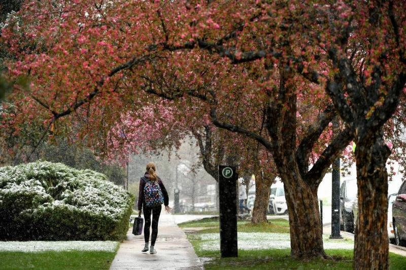 a girl walking during the winter under a tree with pink flowers at the University of Colorado in Boulder, Colorado