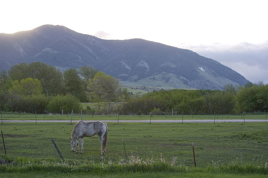 a horse grazing in the grass in front of a mountain in Bozeman, Montana