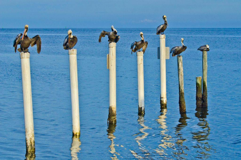 pelicans perched on posts in the ocean in Cedar Key, Florida