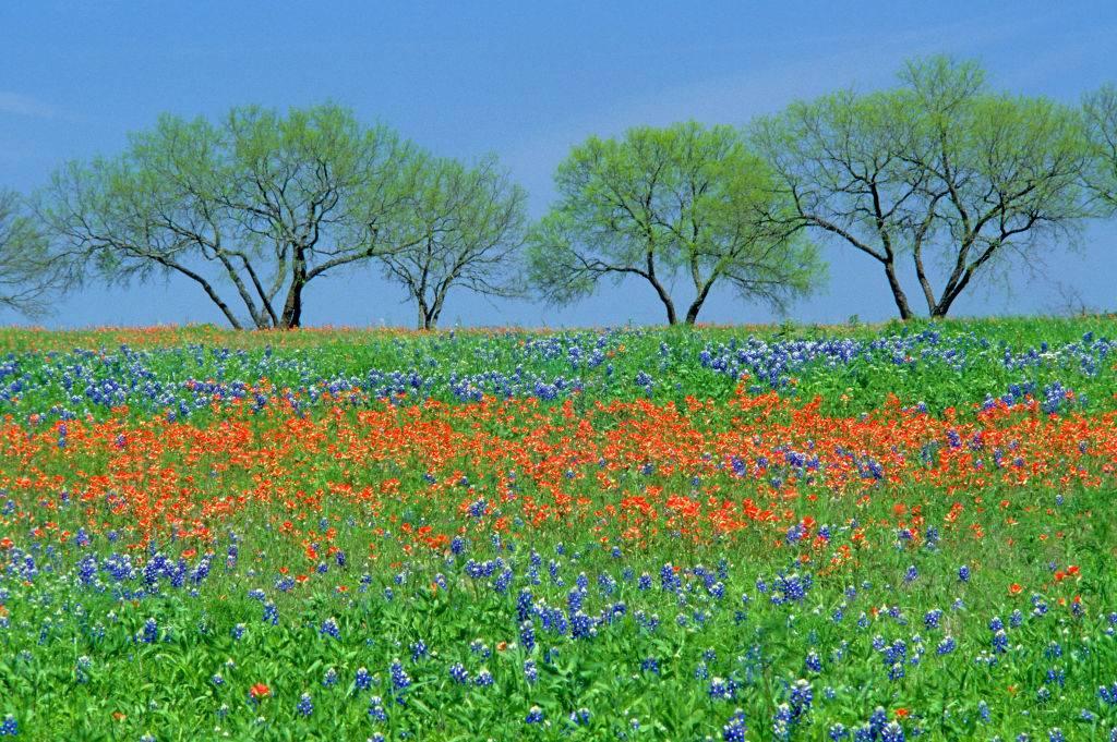 blue and orange flower field in Fredericksburg, Texas