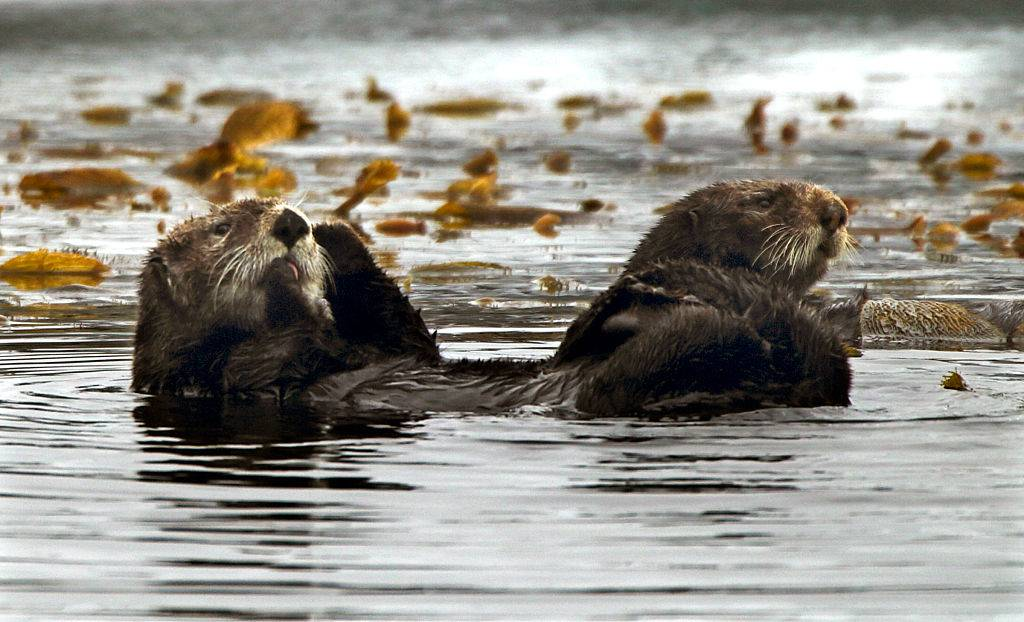 two sea otters floating in the Monterey Bay in California