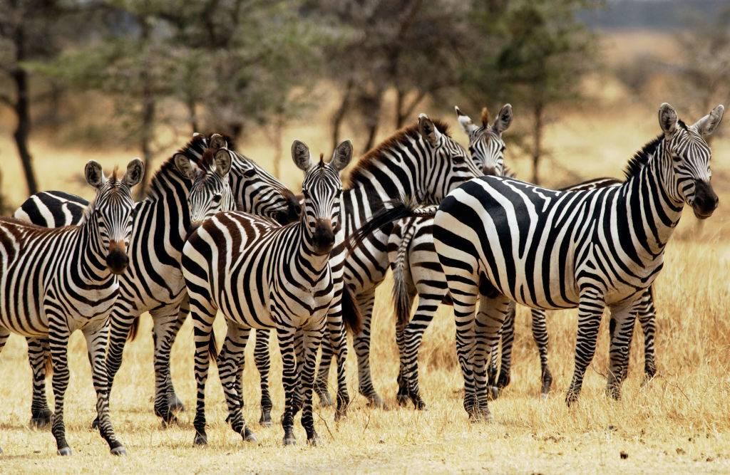 a herd of zebras in serengeti national park in tanzania