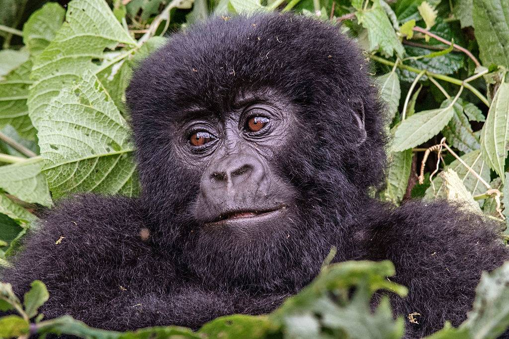a baby mountain gorilla in the jungle at virunga national park in the democratic republic of congo