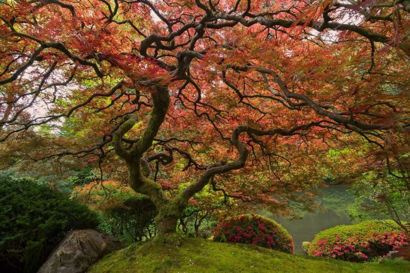 Japanese Maple in Portland