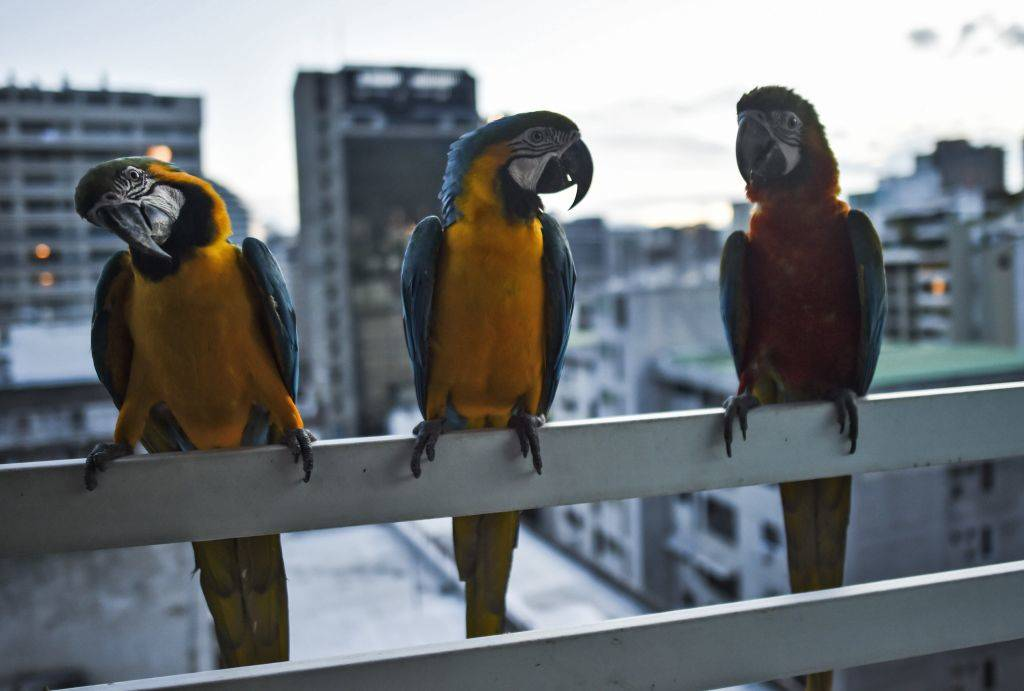 a bunch of Macaws on a balcony