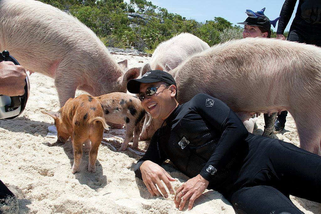 person on a beach with pigs
