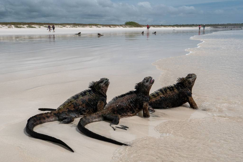 iguanas on a beach