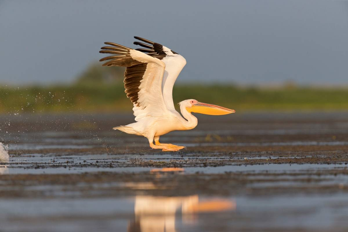 Great White Pelican flying over water