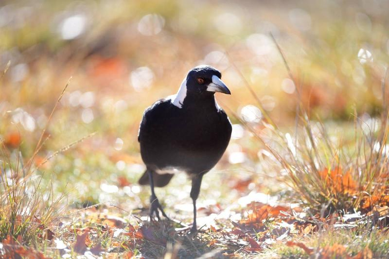 An Australian native Magpie feeds on seed in a suburban back yard