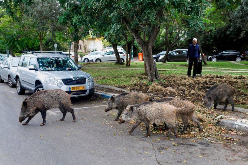 wild pigs in Israel