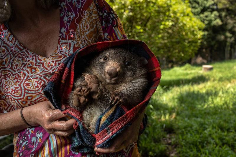 A wildlife caregiver holds an orphaned wombat at the Native Wildlife Rescue center