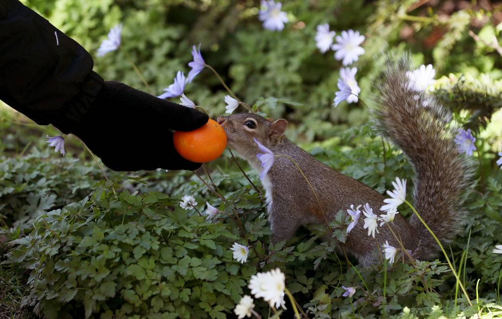 a squirrel eating an orange
