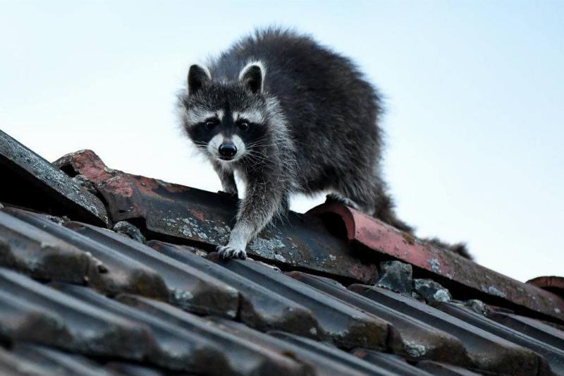 a cute little raccoon on a roof