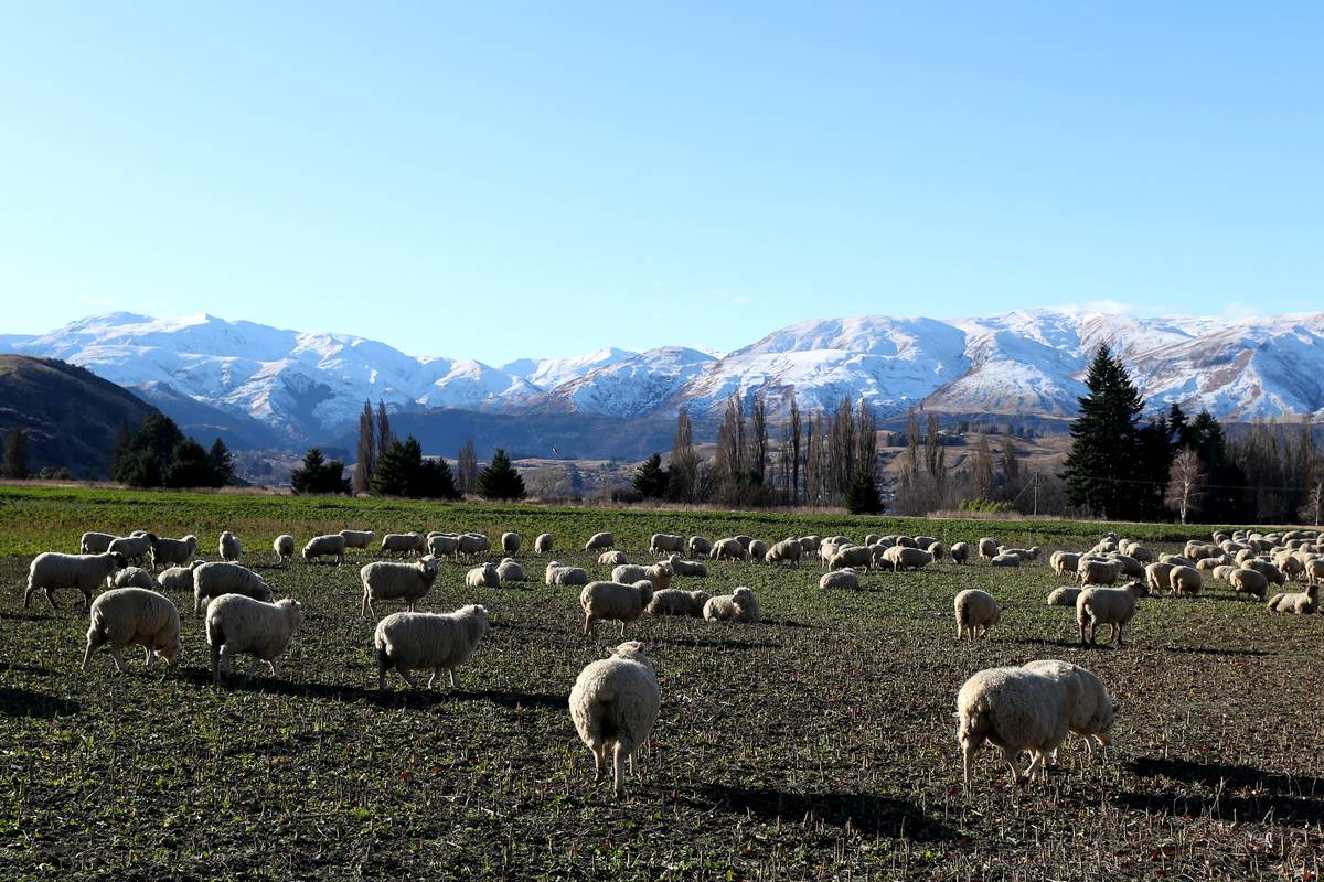 queenstown new zealand sheep on farm land