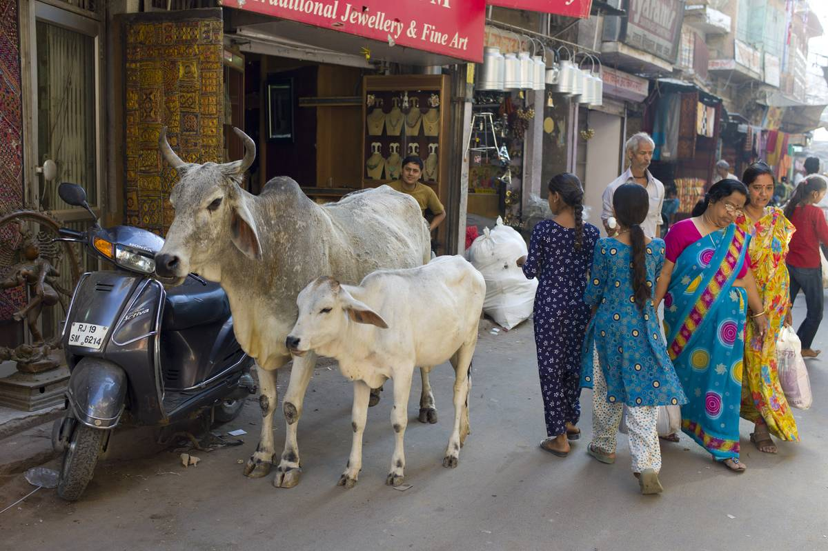 cows standing in busy street in northern india