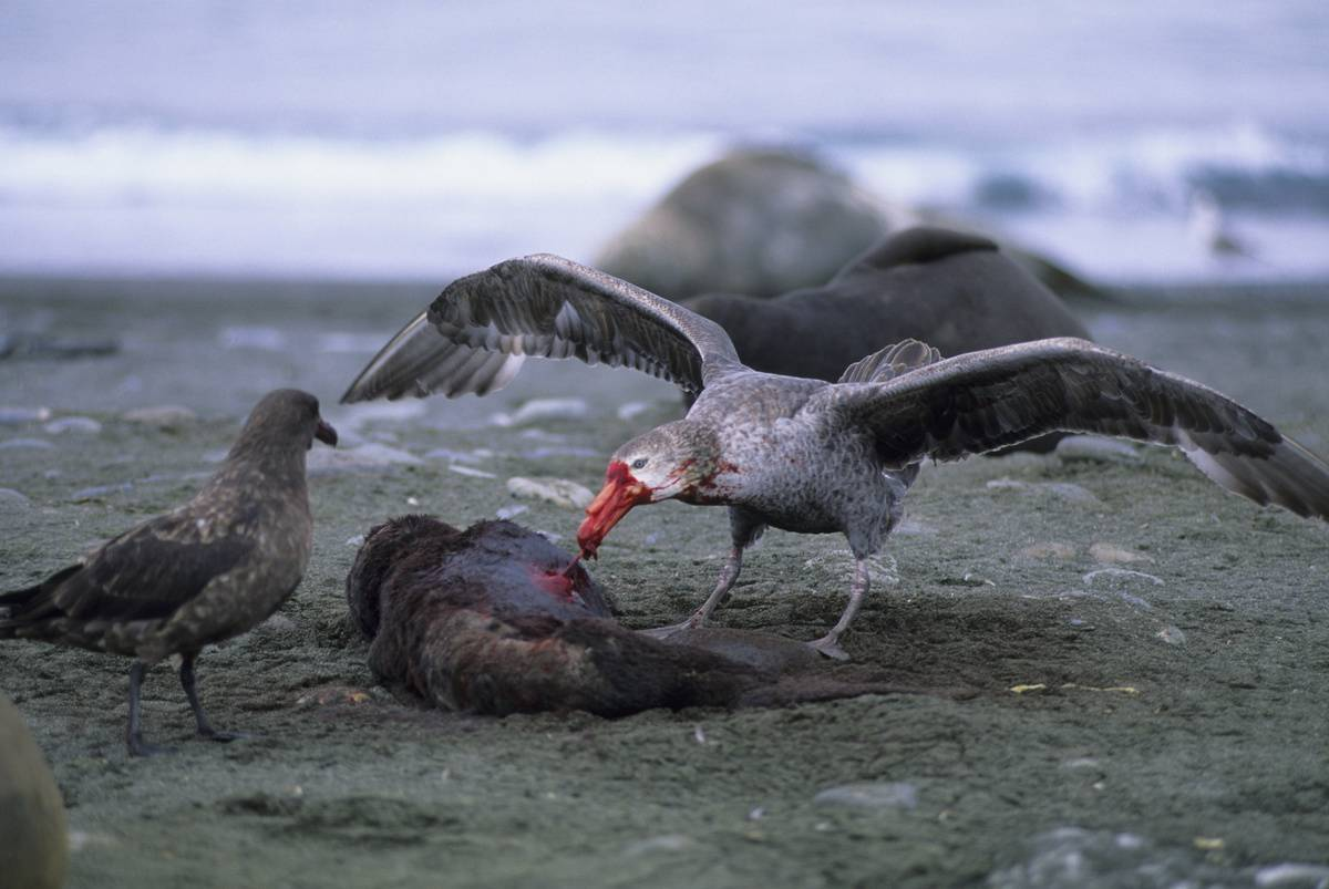 Antarctic Giant Petrel eating dead animal