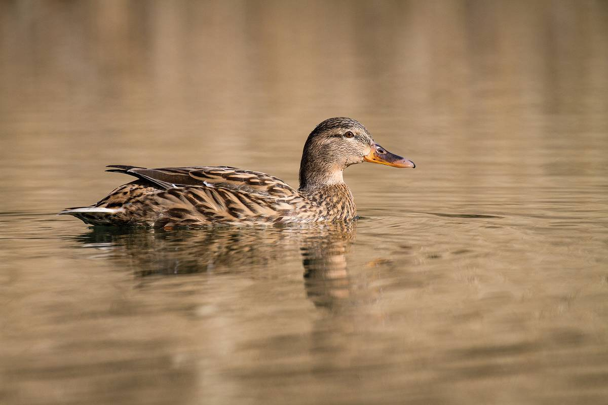 A female mallard duck in pond