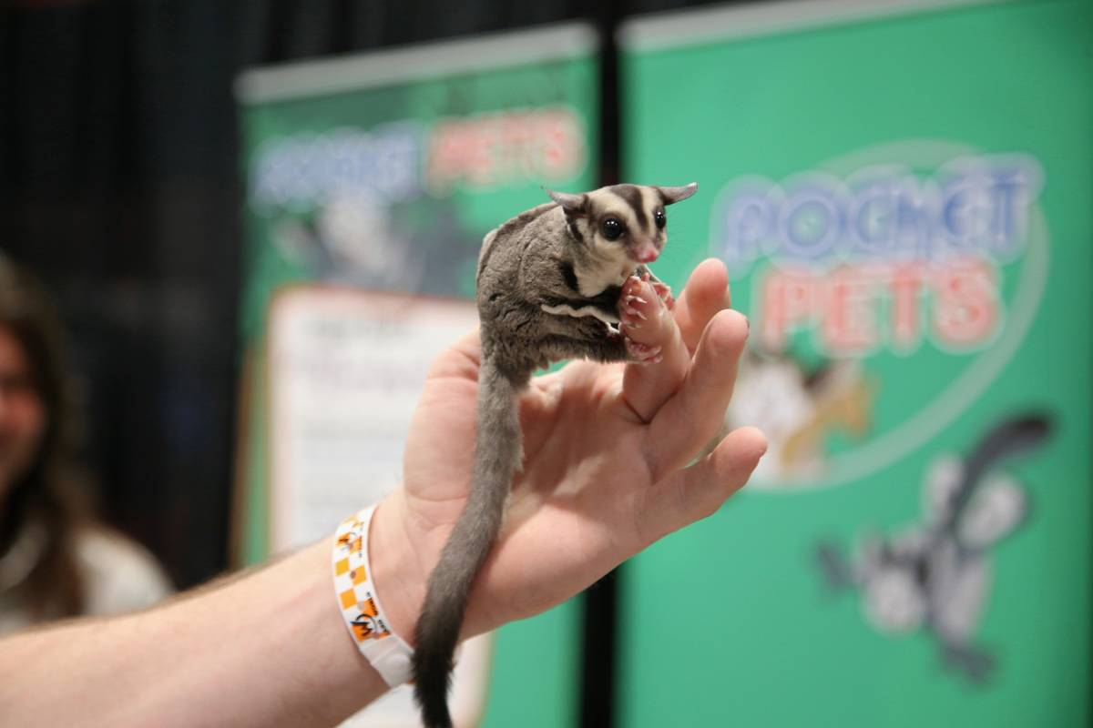 A sugar glider is displayed in the Pocket Pets booth during Wizard World Las Vegas