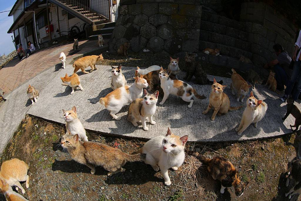cat island in japan