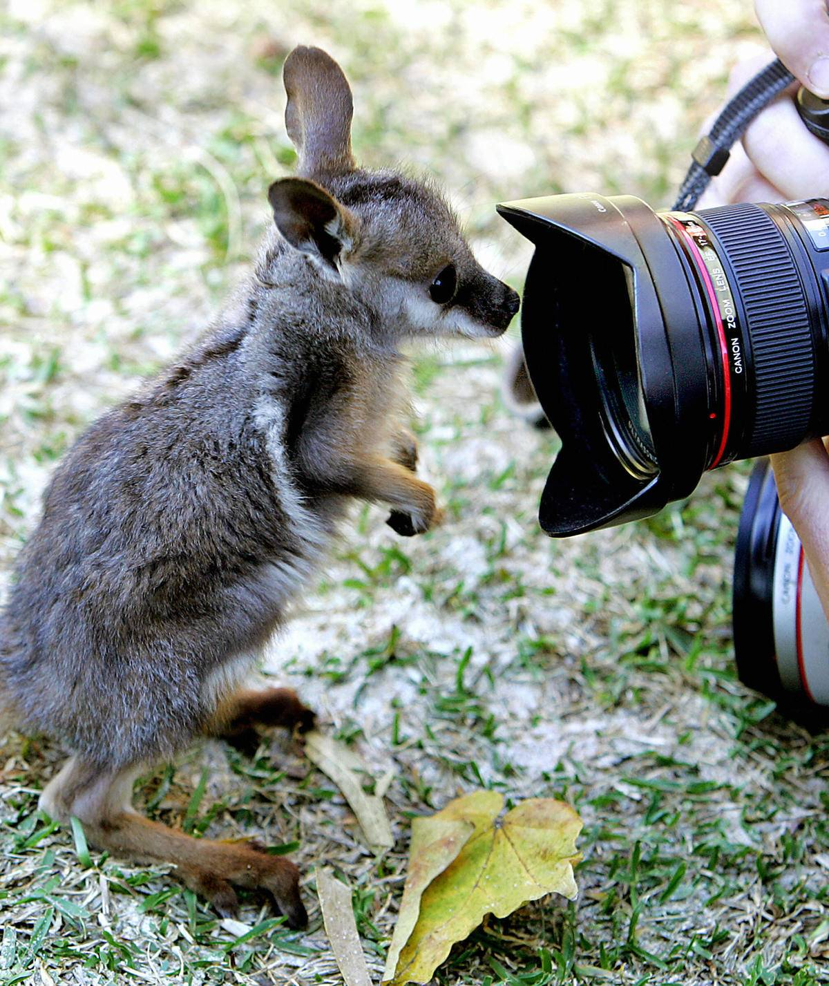 'Petra', a Yellow-footed Rock Wallaby joey, peers into the lens of a camera at Sydney's Taronga Zoo