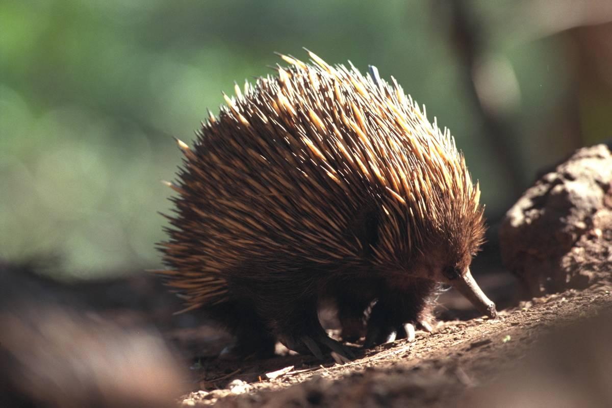 Echidna, Australian animal