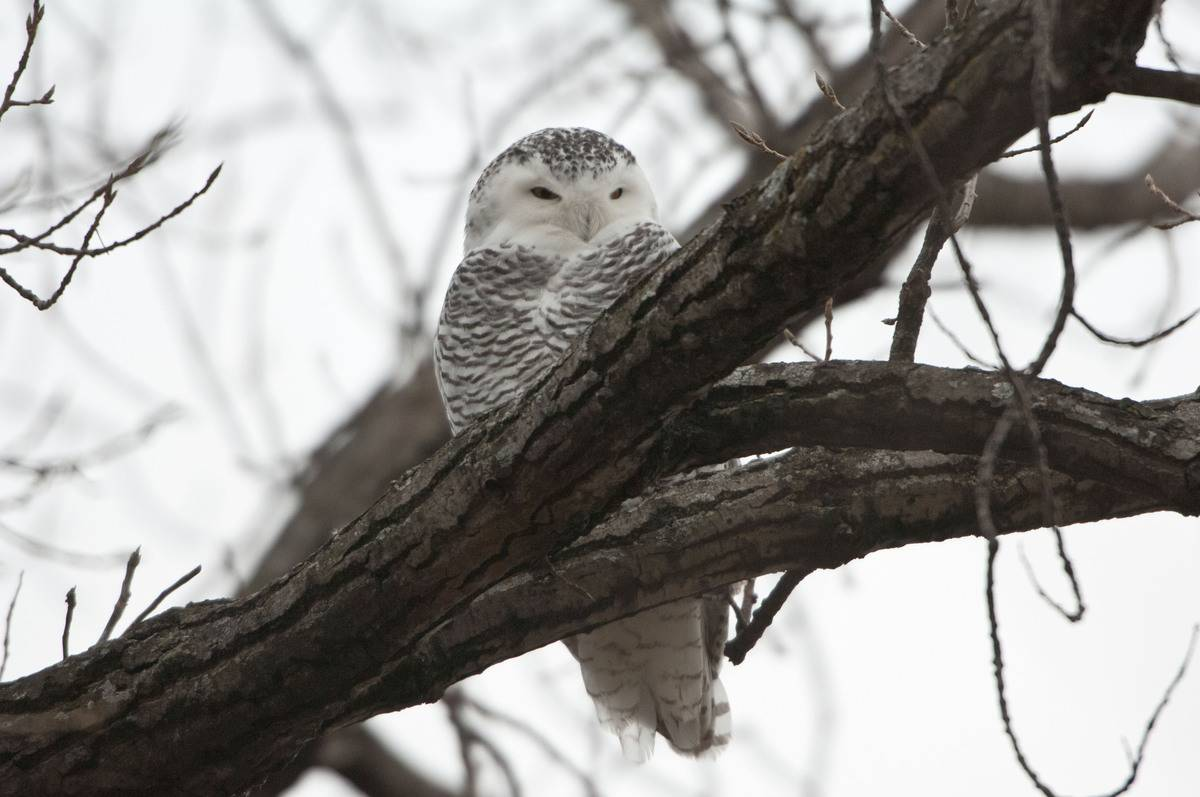 Female Snowy Owl Perched in Tree