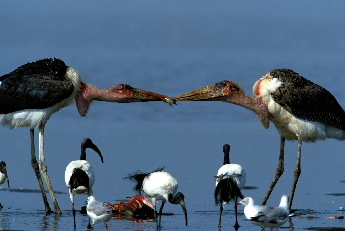 Marabou storks tussling over food scraps with dead flamingo in the background and ibis beneath