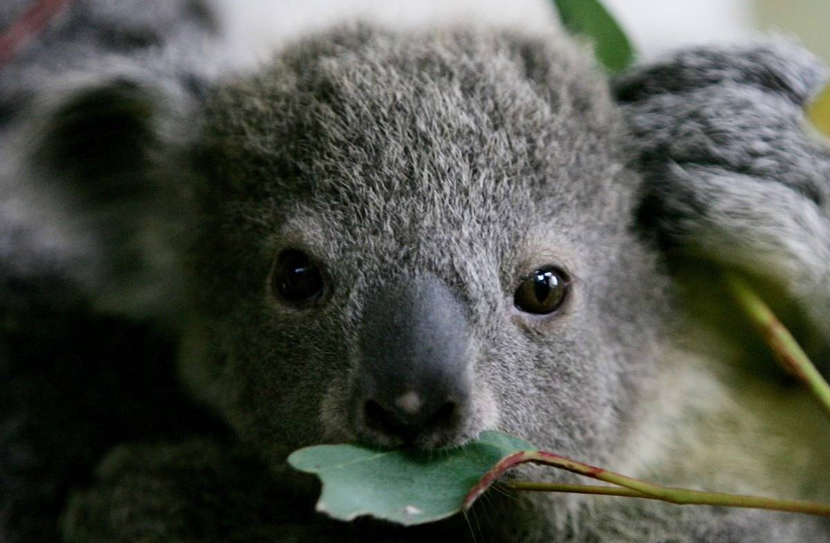 An eight month old koala joey eats a eucalyptus leaf at Taronga Zoo