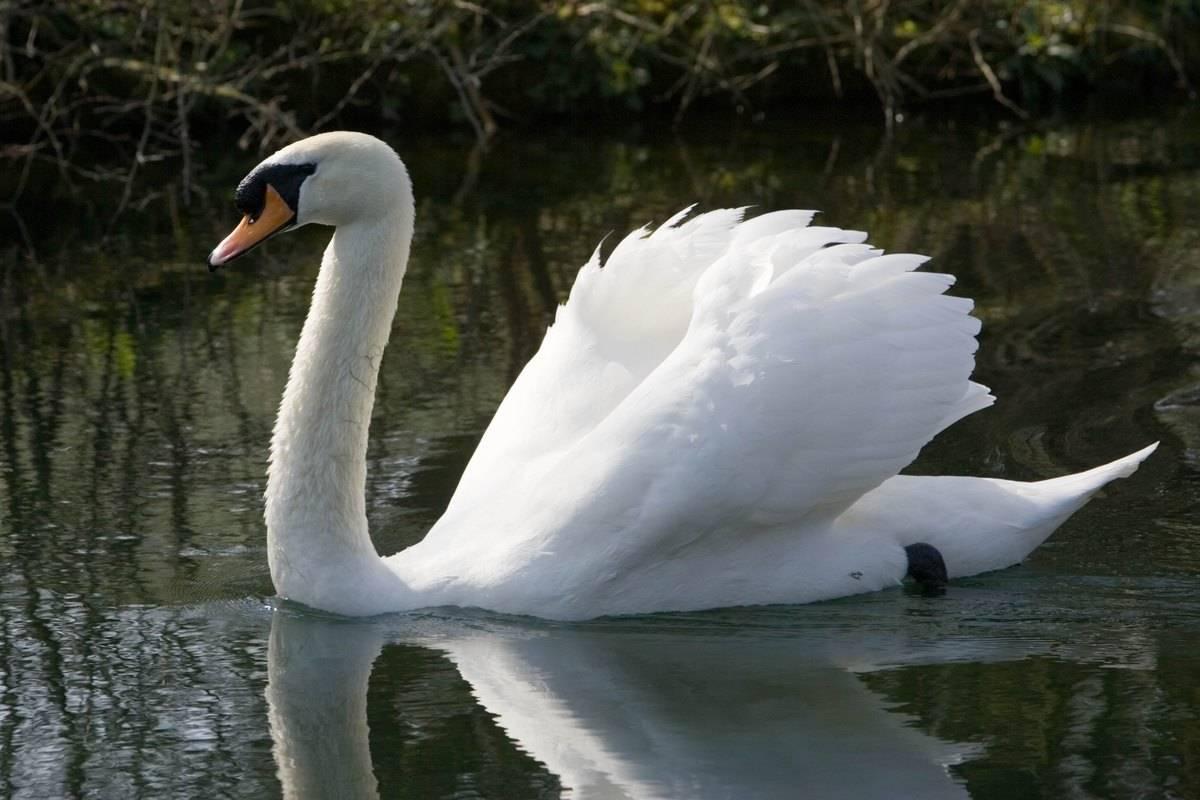 Male mute swan on water