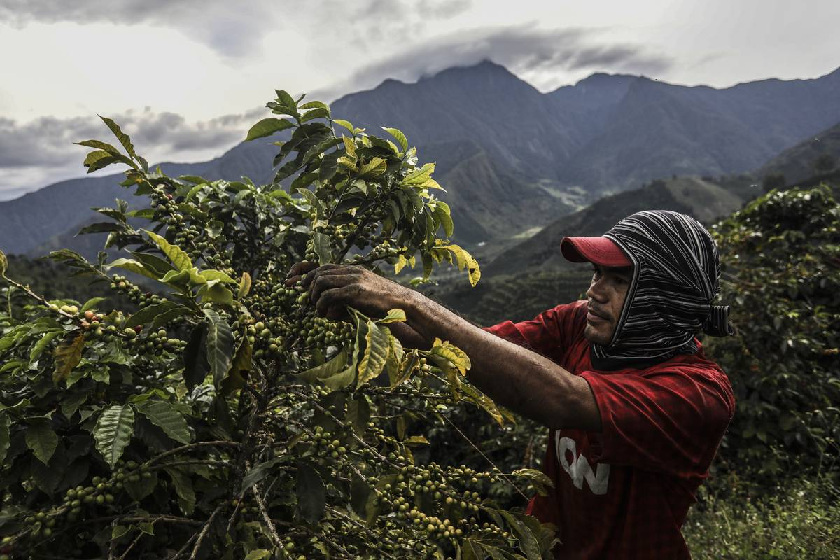 A coffee picker collects coffee in the mountains near Ciudad Bolivar, Antioquia department, Colombia