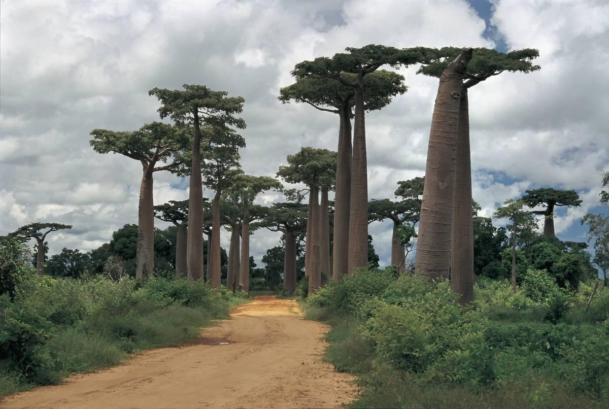 Baobab trees along a dirt road,