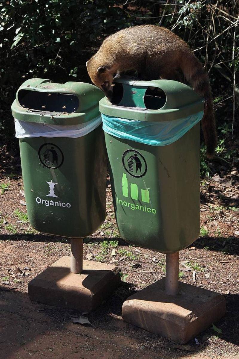a coati on a garbage bin