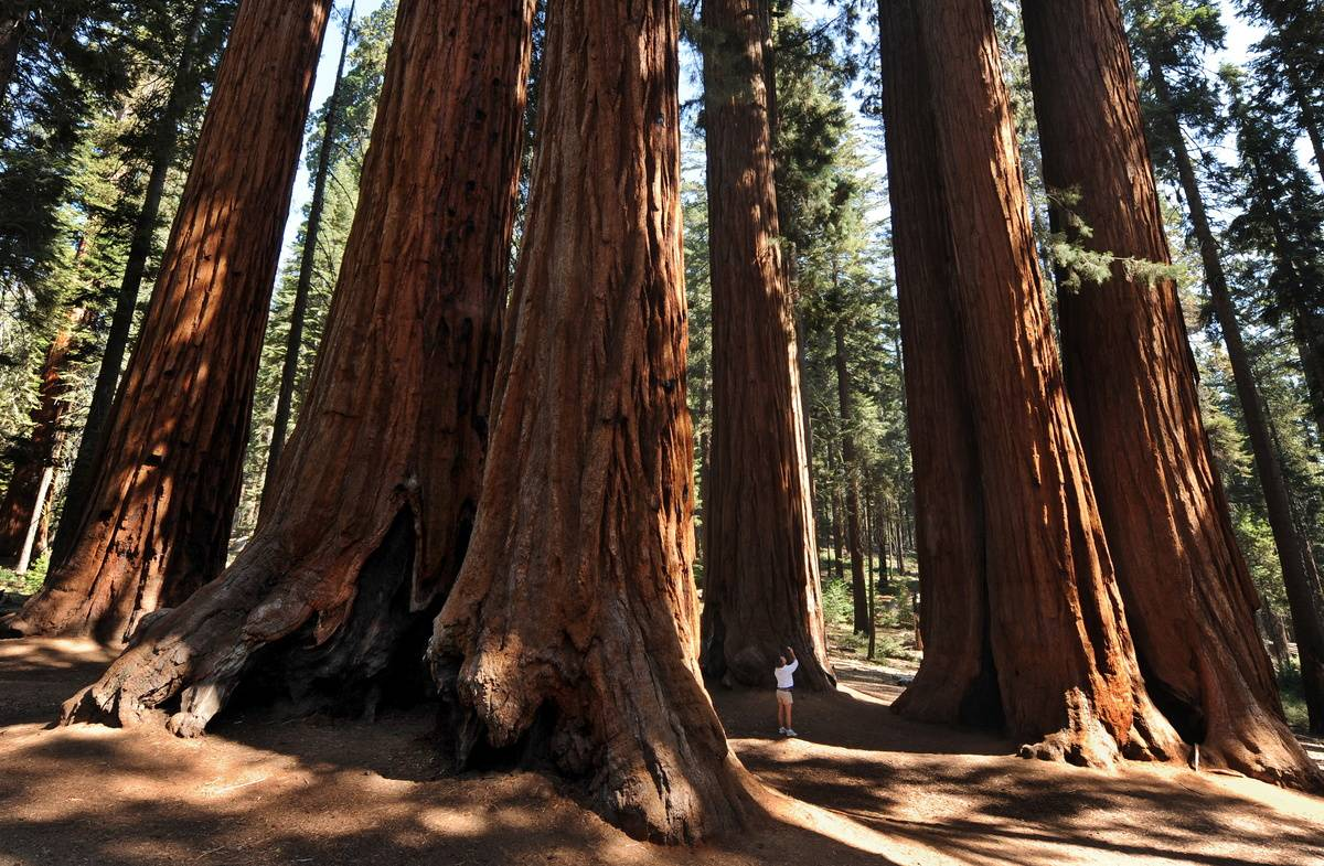 giant sequoia tree grove in sequoia national park