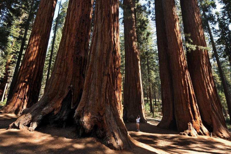 giant sequoia tree grove in sequoia national park