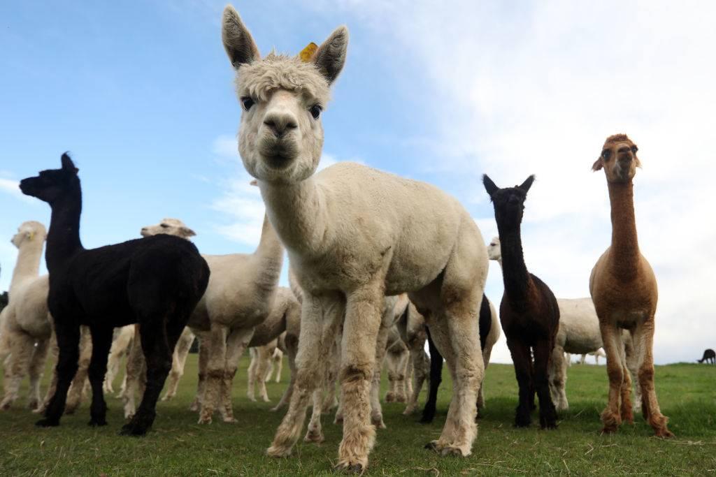 a bunch of alpacas in New Zeland